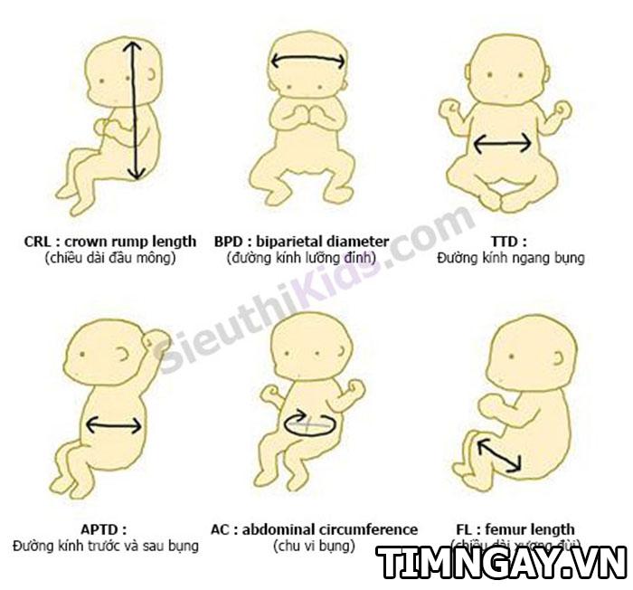 Những yếu tố quyết định xương đùi của thai nhi dài hay ngắn 1